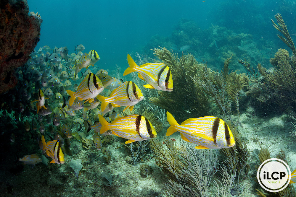 A healthy coral reef ecosystem includes large dense schools of fish.  In the foreground are Porkfish and in the background are numerous grunts and snapper.