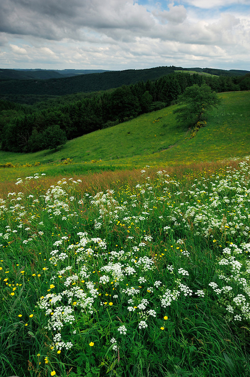 Landscape in the Ardennes. (Anthriscus sylvestris), Cow Parsley also known as Wild Chervil, Wild Beaked Parsley, and Keck, Ardennes, Luxembourg
