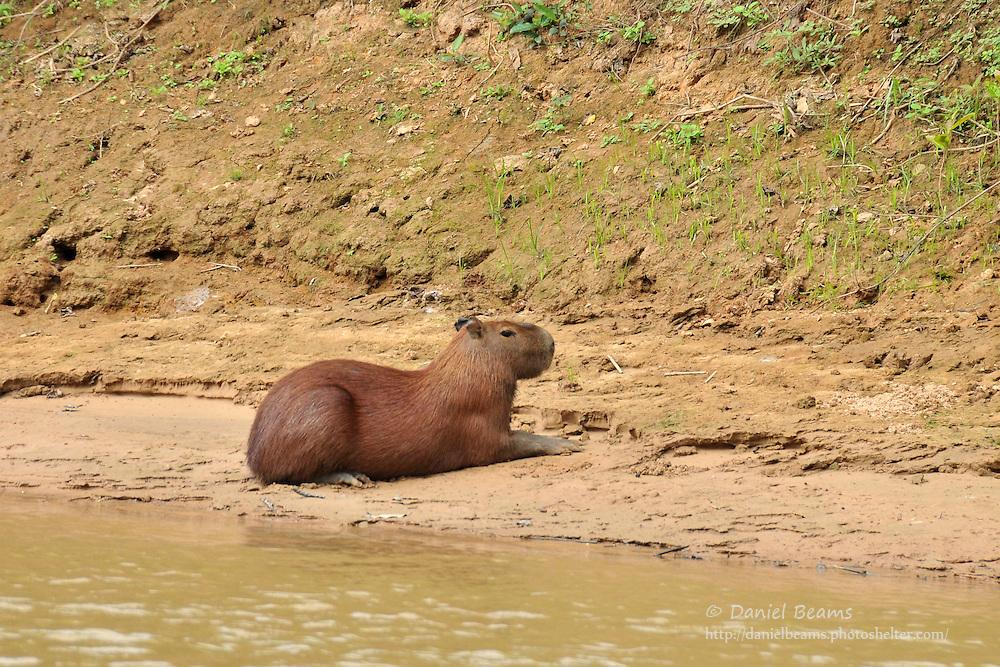 Capybara on river bank near San Lorenzo de Moxos, Beni, Bolivia