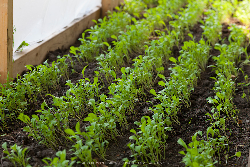 Aruguula seedlings that are harvested within days of sprouting their first true leaves as microgreens.