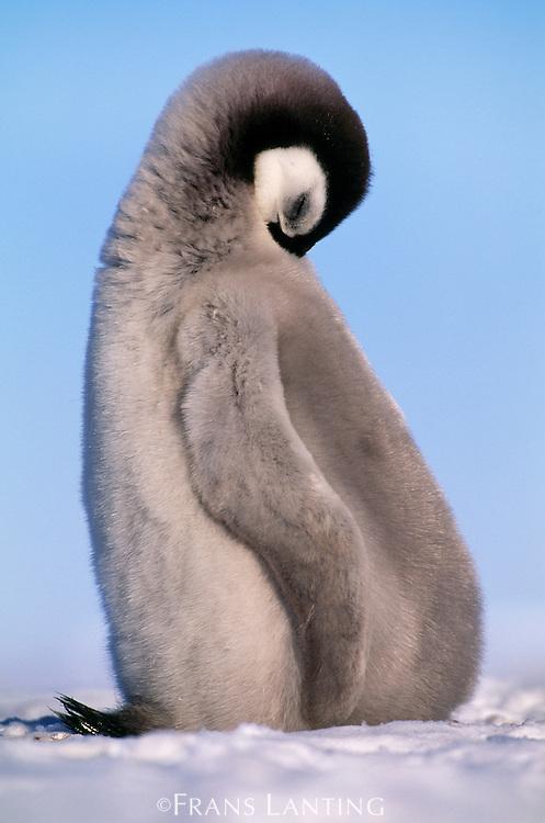 Emperor penguin chick sleeping, Aptenodytes forsteri, Antarctica