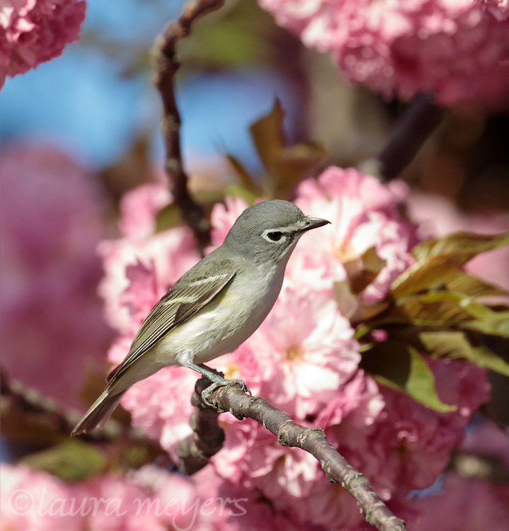 Blue-headed Vireo with Cherry Blossoms in background photographed at Green-wood Cemetery in Brooklyn, New York