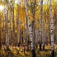 aspen fall leaves warm sun in aspen grove