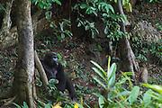 Western lowland gorilla (Gorilla gorilla gorilla)<br /> Dzebe Bai<br /> Odzala - Kokoua National Park<br /> Republic of Congo (Congo - Brazzaville)<br /> AFRICA<br /> Range: lowland swamps of Angola, Cameroon, Central African Republic, Congo, DRC, Equatorial Guinea and Gabon<br /> IUCN STATUS: Critically endangered