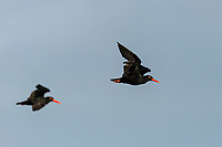 African black oystercatcher pair in flight, Agulhas National Park, Western Cape, South Africa