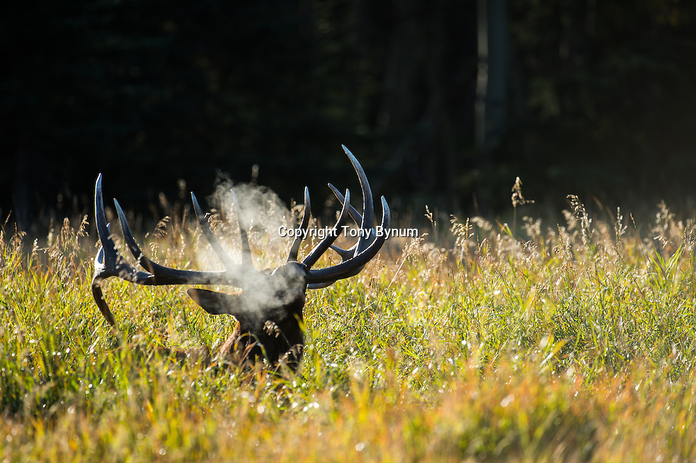 steam backlit bull elk bugling