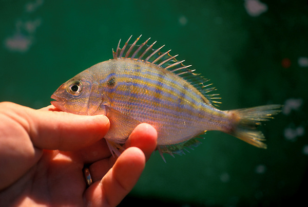 Stock photo of a man holding a piggy fish used for live bait.