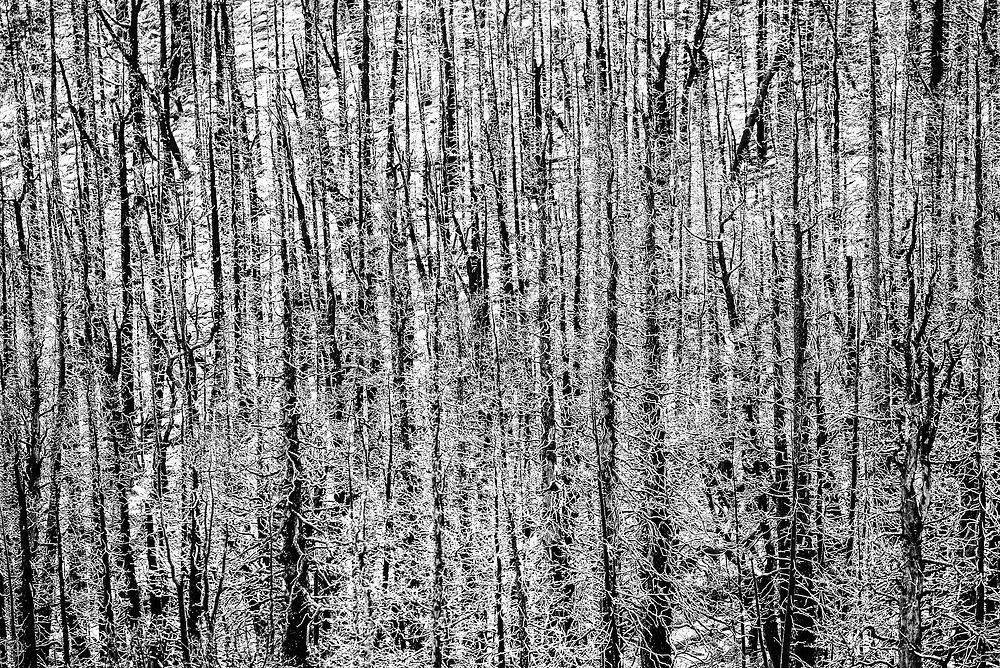 This picture shows the remains of a burnt ash forest in Rocky Mountain National Park.<br /> <br /> Camera <br /> NIKON D610<br /> Lens <br /> 150.0-600.0 mm f/5.0-6.3<br /> Focal Length <br /> 450<br /> Shutter Speed <br /> 1/400<br /> Aperture <br /> 8<br /> ISO <br /> 640