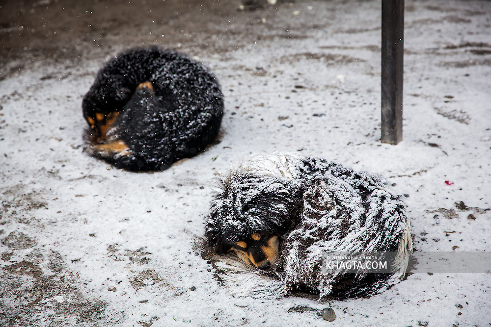 Dogs sleeping as snow collects on them in a Spiti winter when the temperature goes down to -30˚C and stays below -20˚C throught the winter