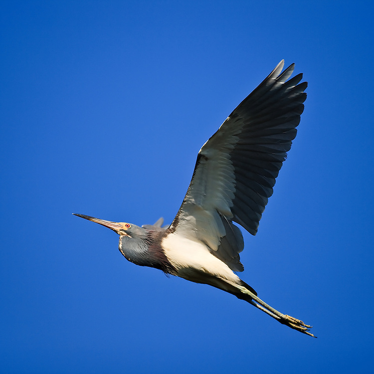 An adult tricolored heron (Egretta tricolor) flies from its nest at the natural wader rookery at the St. Augustine Alligator Farm, Anastasia Island, St. Augustine, Florida.