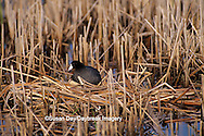 00855-00315 American Coot (Fulica americana) on nest with juvenals Waubay NWR Mgmt Area Waubay SD
