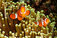 As you move east the western clown anemonefish, Amphiprion ocellaris, pictured here, is replaced with the eastern clown anemonefish, Amphiprion percula.  Philippines.