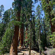 Giant Sequoias. Sequoia National Park. California, USA.