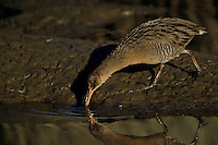 California race of clapper rail (Rallus longirostris levipes).  Corte Madera Marsh, California.  Oct 2002.