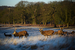 © Licensed to London News Pictures. 05/01/2017. London, UK. Deer seen grazing on a frozen landscape in Richmond Park, London at sunrise, as cold weather continues across the UK. Photo credit: Ben Cawthra/LNP