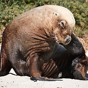 Male Australian sea lion (Neophoca cinerea) scratching himself while sitting on the beach at Carnac Island, Western Australia. Australian sea lions are endemic to Western Australia and South Australia. They are on classified as an Endangered species on the IUCN Red List.