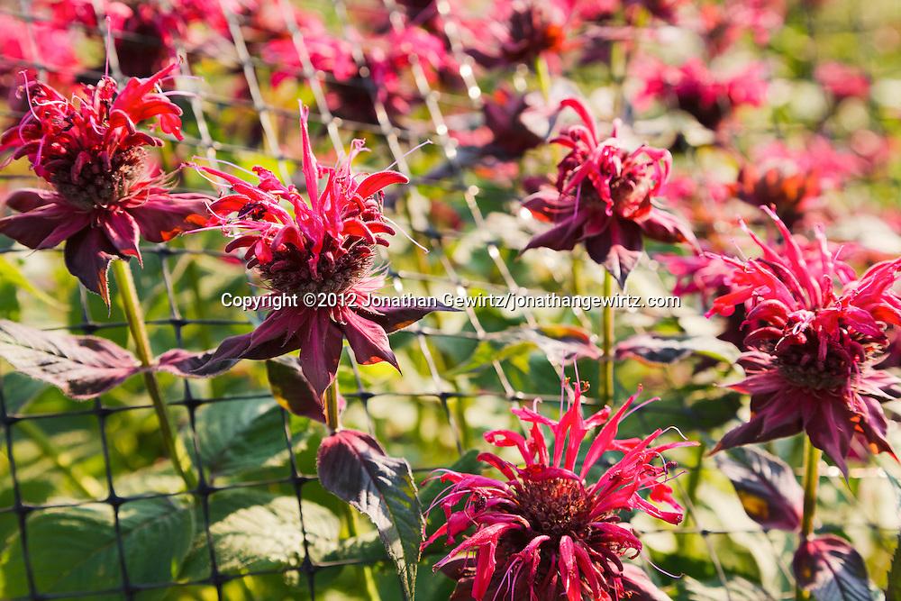 red flowers  jonathan gewirtz, Natural flower