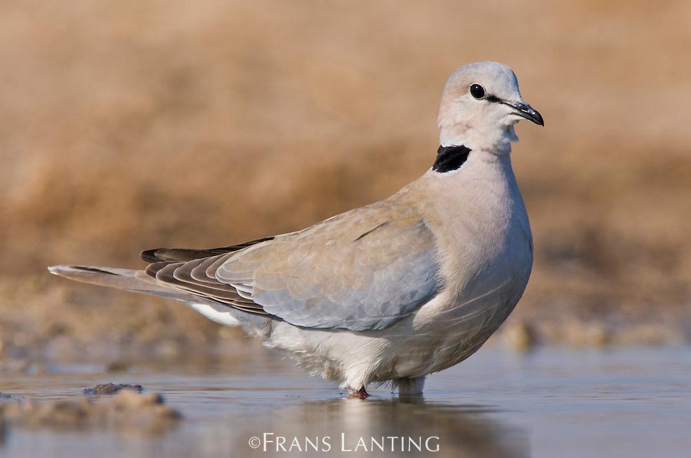 Ring-necked dove at waterhole, Streptopilia capicola, Etosha National Park, Namibia