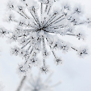 Noorwegen Gol 22 december 2008 20081222 Foto: David Rozing .Wintertafereel, ijs rijp op bloem .Wintertime, icy flower ..Foto: David Rozing