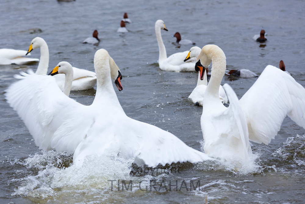 Ruffled feathers - male Mute Swans (cobs), Cygnus olor, arguing and flapping wings to fight for territory, Welney, Norfolk, UK