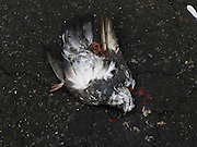 a dead pigeon laying on the road