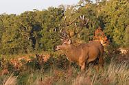 Red Deer (Cervus elaphus) stag in autumn foliage Surrey UK.