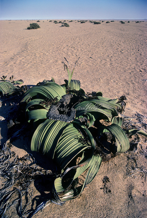 Welwitschia plant growing in deserst, Damaraland, Namibia, Africa..Welwitschia mirabilis