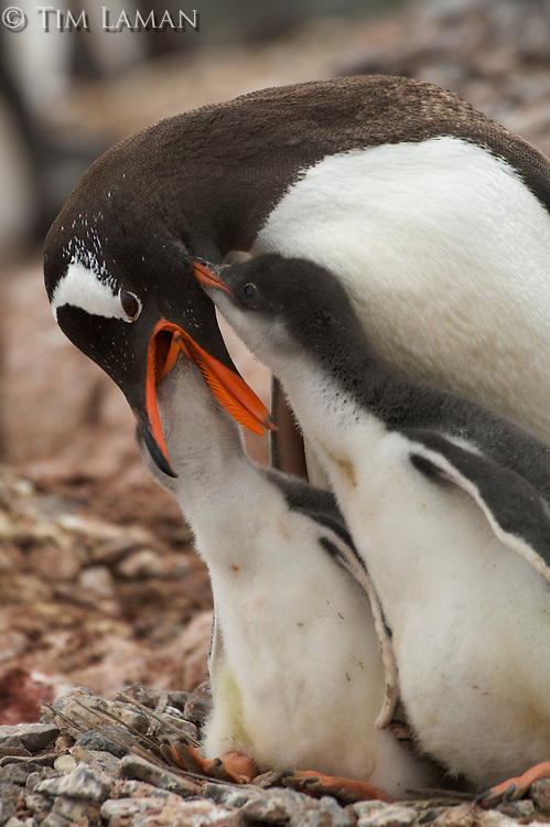 Gentoo Penguin (Pygoscelis papua) feeding its young.  Port Lockroy, Wiencke Island.