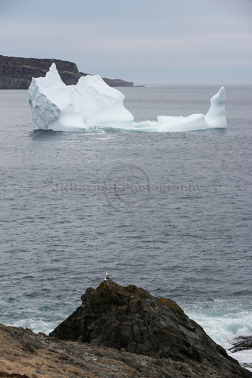 Iceberg in Torbay flanked by rocky cliffs in the foreground and background.  Newfoundland Labrador, Canada