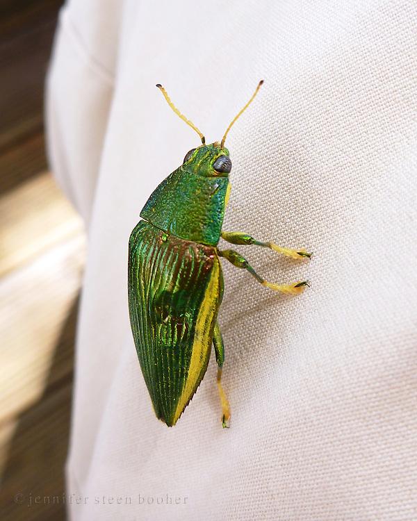 Jewel Beetle, Kadavu, Fiji. Possibly Paracupta helopioides.