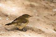 The Seychelles warbler (Acrocephalus sechellensis), also known as Seychelles brush warbler, is a small songbird found on five granitic and corraline islands in the Seychelles. It is a greenish-brown bird with long legs and a long slender bill. It is primarily found in forested areas on the islands.