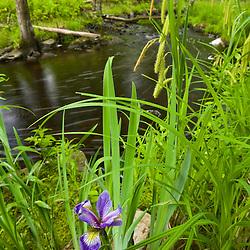 A blue flag iris next to Muschopauge Brook in Holden, Massachusetts.  Worcester County.