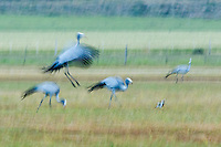 Blue crane flock dancing in the late evening, Overberg, Western Cape, South Africa