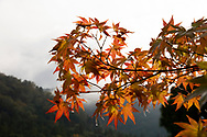 Orange acer leaves and misty mountain scenery at the Shugakuin Imperial Villa garden, Kyoto, Japan