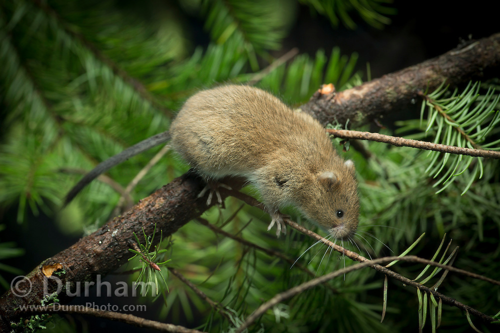 A male red tree vole (Arborimus longicaudus) among Douglas fir needles. Red tree voles are rarely seen. They are nocturnal and live in Douglas fir tree tops and almost never come to the forest floor.  They are one of the few animals that can persist on a diet of conifer needles which is their principle food.  As a defense mechanism, conifer trees have resin ducts in their needles that contain chemical compounds (terpenoids) that make them unpalatable to animals.  Tree voles, however, are able to strip away these resin ducts and eat the remaining portion of the conifer needle.