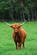 Highland cattle cow, Scotland, United Kingdom.