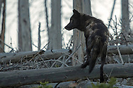 In 1995, 14 wolves were captured in Canada and reintroduced into Yellowstone. In 1996, another 17, also from Canada, were released. <br />