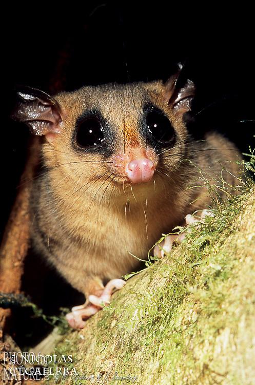 Opossom, Marmosops sp.