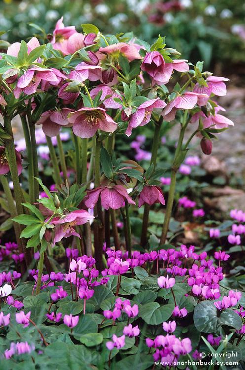 Helleborus x hybridus 'Ashwood Garden Hybrids' with Cyclamen coum