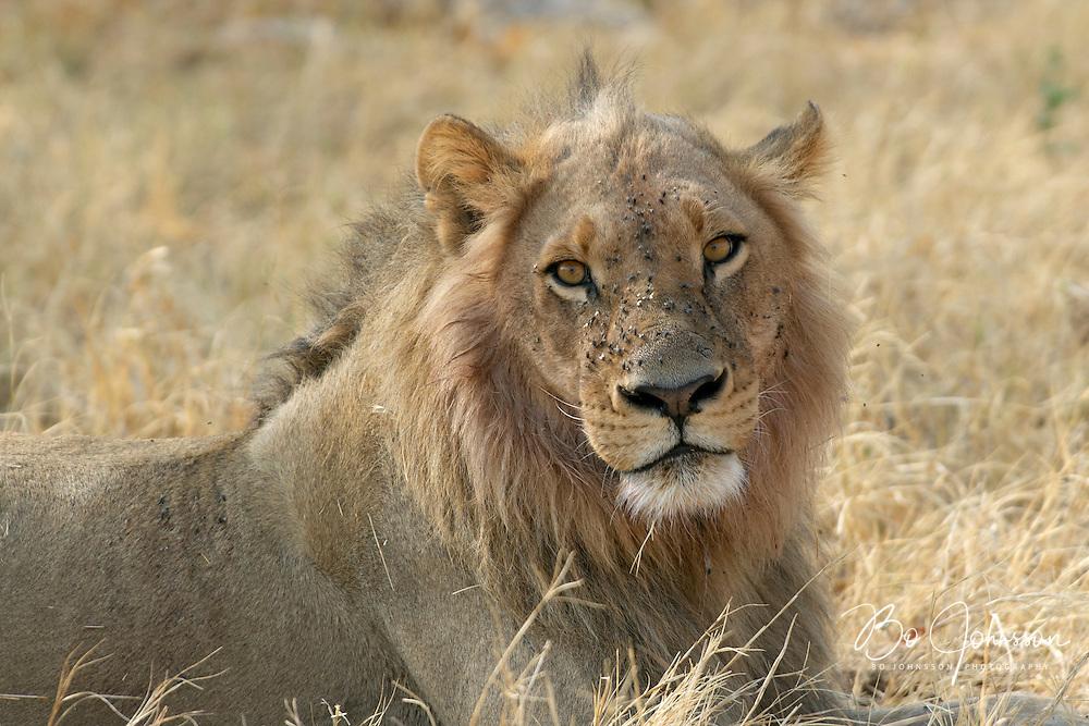 Male lion (Panthera leo) in the soft morning light.<br /> The Xakanaxa side of Moremi in the Okavango Delta, Botswana.<br /> September 2007.