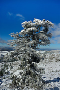 Spanish fir (Abies pinsapo) covered in snow. Sierra de las Nieves Biosphere Reserve, Ronda, Malaga province, Andalucia, Spain.