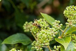 Gewone wesp, Vespula vulgaris