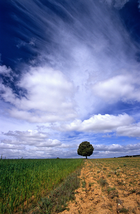 A lone juniper tree stands in the middle of the cereal plains tin the northermos region of Portugal, Tras-os-Montes