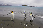 King Penguin<br /> Aptenodytes patagonicus<br /> Arriving on shore<br /> Salisbury Plain, South Georgia