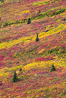 Tundra of the Grizzly Creek Valley displaying vibrant autumn colors, Tombstone Territorial Park Yukon Canada