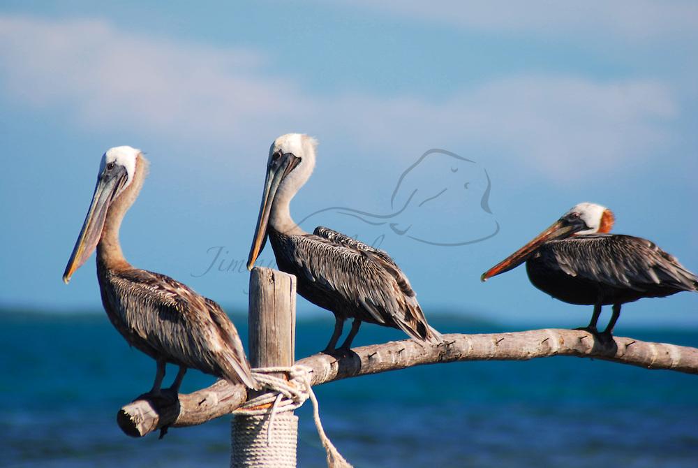 Parque Nacional Archipielago Los Roques, es un hermoso archipiélago de pequeñas islas coralinas que se encuentra ubicado en el Mar Caribe y ocupa 221.120 hectáreas. Pelicanos en el Palafito.