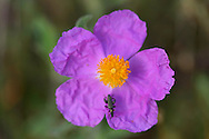 Rock rose, Cistus villosus, Eastern Rhodope mountains, Bulgaria