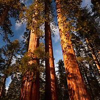 Mariposa Grove Giant Sequoias 4-26 PM