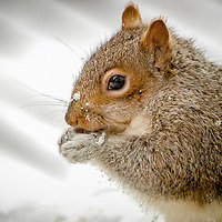 Gray Squirrel eating a nut