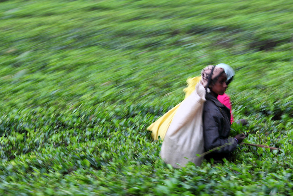 Tamil women pick tea on a plantation in Sri Lanka's hill country, seen from the train that winds through